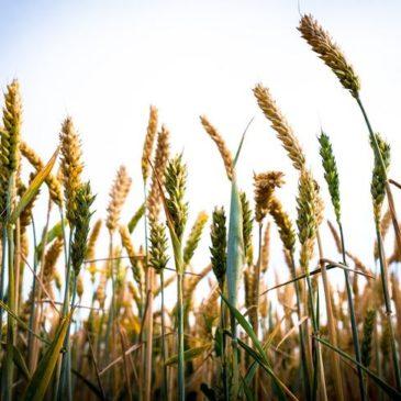 Украина запретила ввоз из России пшеницы, меслина и подсолнечного масла