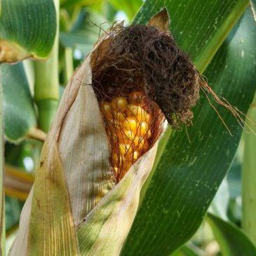 Семеноводческие компании хотят взимать плату с фермеров на основе результатов урожая – справедливо?