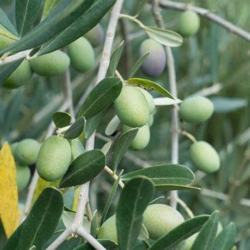 Узбекистан намерен выращивать оливки