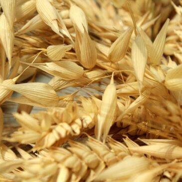 Обмен генами между пшеницей и ячменем дает представление о защите растений в будущем