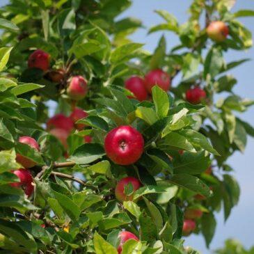 Китайские яблоки в поисках альтернативных рынков вместо РФ