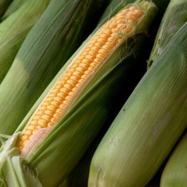 Канадская компания представила бразильским аграриям биоинсектицид Crystal против главного вредителя сои и кукурузы
