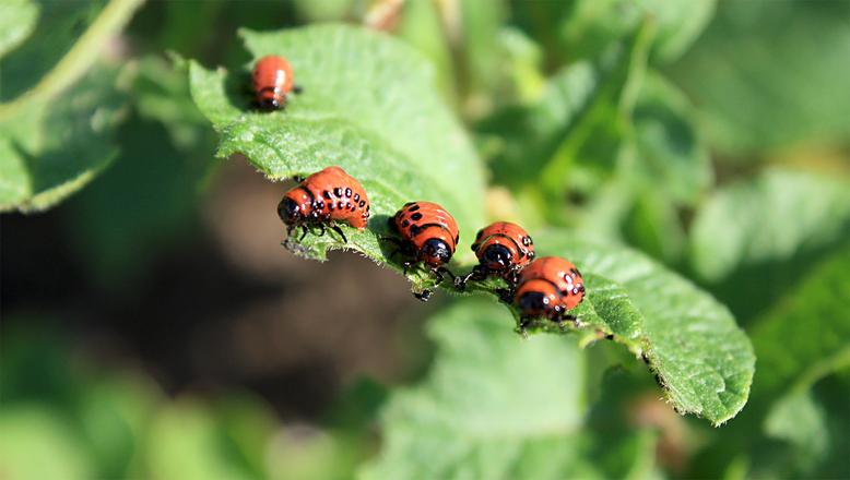 В России из-зи морозов вымерли колорадские жуки