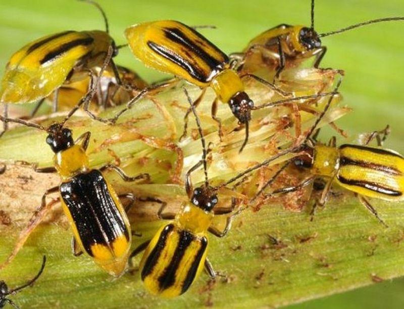 Что заставляет кукурузных жуков диабротика нападать на культуру