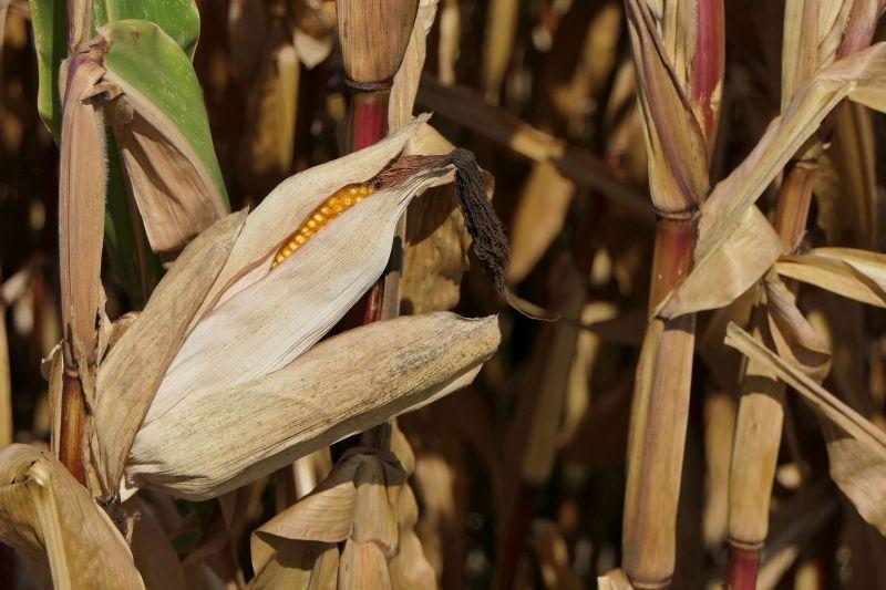 Урожай кукурузы в Германии на 40% ниже прошлогоднего