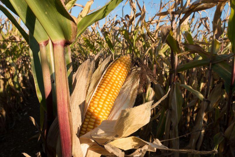 Мировой спрос на кукурузный глютен растет за счет потребления в АПК