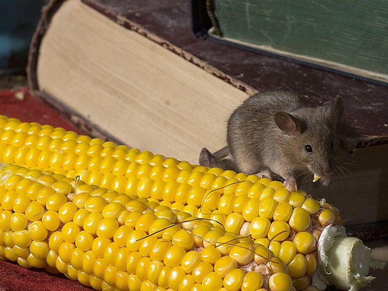 Мыши, термиты и постельные клопы: рынок средств борьбы с вредителями в США приближается к 9 млрд долларов