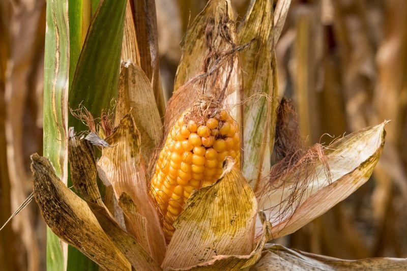 Неблагоприятный прогноз производства кукурузы вызвал рост цен на продовольствие