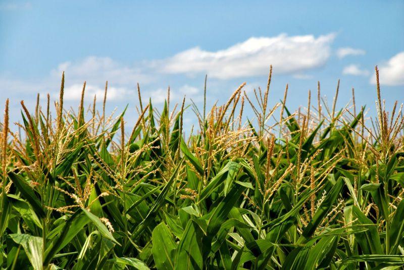 Модель для прогноза урожайности кукурузы в разных климатических зонах создали европейские ученые